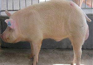 美丹新英系长白公猪